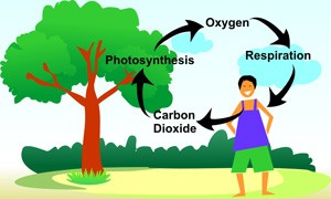 Carbon Dioxide Oxygen Cycle | Smore