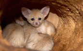 Fennec Fox (newborn) in its burrow (Habitat)