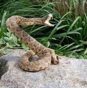 Una Serpiente Venenosa