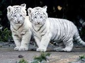 Cloned white striped tigers