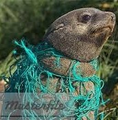 Seals are being strangled by old fishing net!