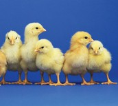 Baby chicks have fluff