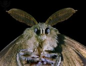 The scientific name for the Gypsy Moth is