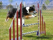 ¡Correr con el perros en agilidad!