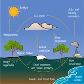 11. A. Explain the Carbon Cycle and B. how do humans affect this cycle?