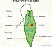 Parts of Euglena