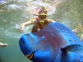 Blue Parrot-Fish