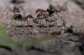 Ants Communicating