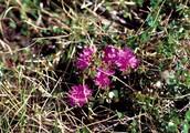 Lapland Rose