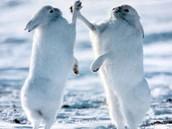 Arctic Bunny