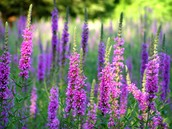 Purple Loosestife