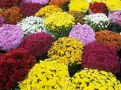 MUMS ON SALE NOW IN THE GREENHOUSE...