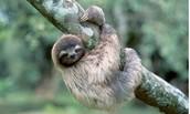 The Sloth (Flolivora)
