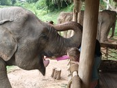 The elephants at Bles like to open their mouths so you can put the food in!