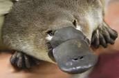 Adult Platypus