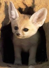 how do the fennec fox protect ifself