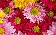 Our Wide Range Of Daises