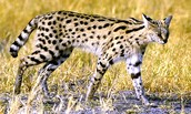The Serval.