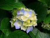 פרח השנה