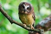 Elf Owls