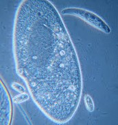 Another paramecium!