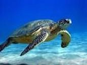 Sea turtle: Chelonioidea
