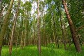 Eculyptus Forest