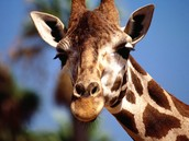 How does a giraffe adapt to there survIve?