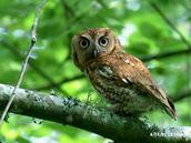 Eastern Screech Owl #2