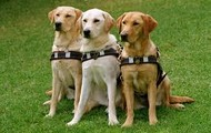 Three Guide Dogs