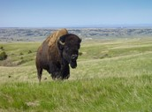 Bison In Park