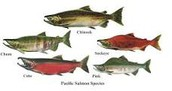 5 species of salmon