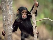 Think You're Smarter Than a Chimpanzee?