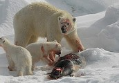 polar bears eat walruses