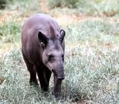 Baird's Tapir Searching for Food