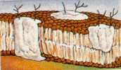 Cell Membrane and Cell Wall