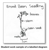 My drawing of a bean plantlet
