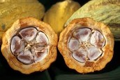 Inside of the cocoa pod.