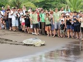 Sea turtle going to the ocean