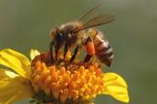 North American Honey Bee