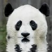 pandas and how they live