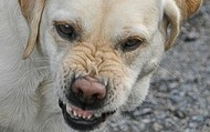 A dog with Rabies