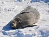 A very pregnant Weddell seal