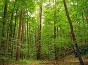 A Deciduous Forest