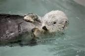 Otter In Oil