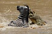 Gator eats Zebra
