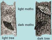 Peppered Moth Comparison
