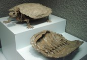 Proganochelys: The Triassic Turtle