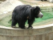 Another sloth bear at the zoo