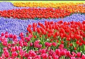 Kuekenhof Tulip Festival